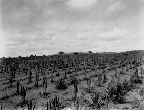 Plantação de agave em Arcoverde (PE) - 1952