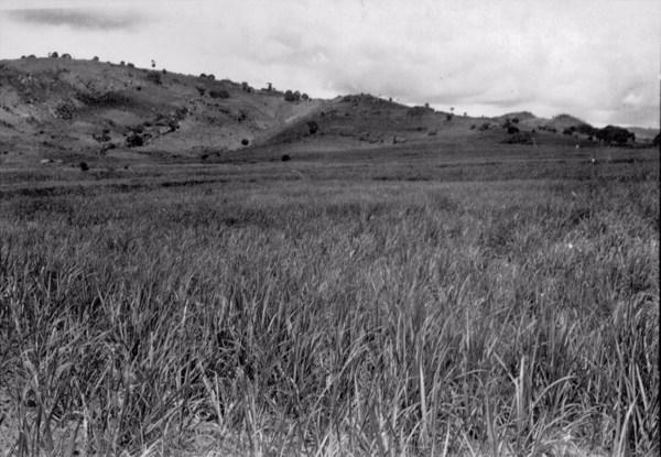 Canavial em Vitória de Santo Antão (PE) - 1956