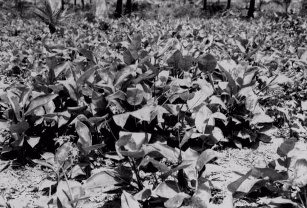 Plantação de Araruta em Cabo de Santo Agostinho (PE) - 1955