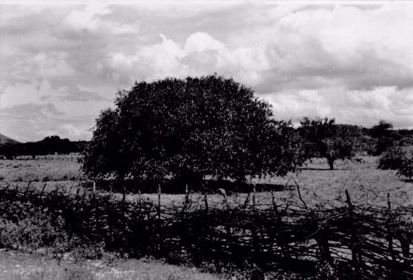 Oiticica em Itaquitinga (PE) - 1955
