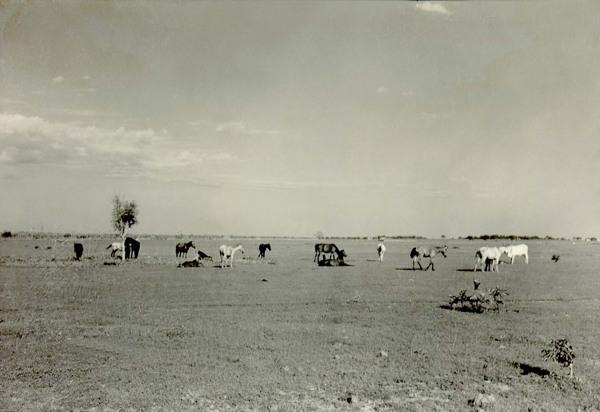 Pasto em Parnaíba (PI) - 1957