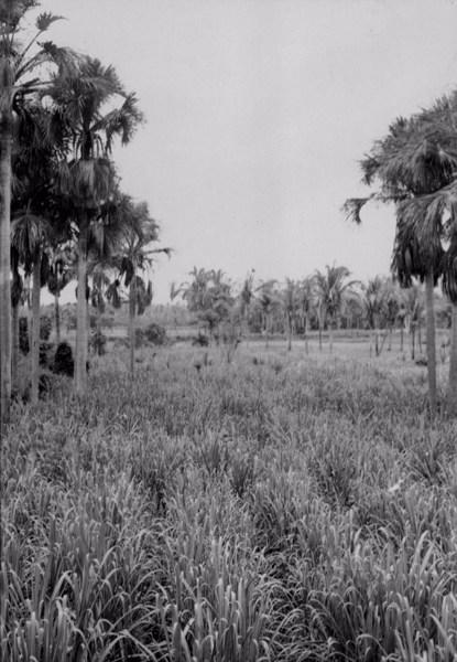 Canavial em São Pedro do Piauí (PI) - 1957