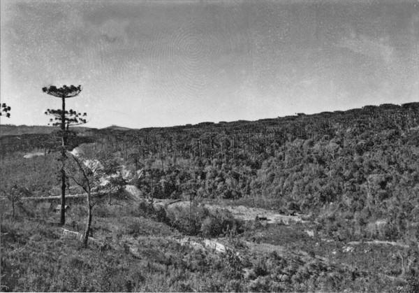 Pinheiral na base da Serra Apucarana (PR) - 1955