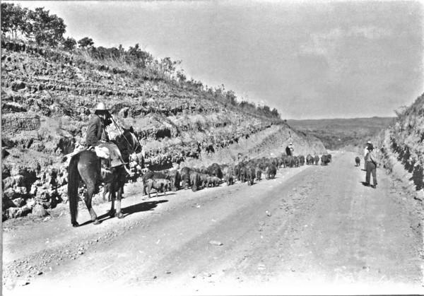 Vara : porcos perto de Ortigueira (PR) - 1955