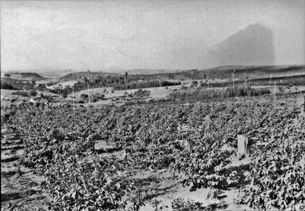 Pastos, vendo-se o relevo em forma de plateau, antes de Jandaia do Sul. (PR) - 1955