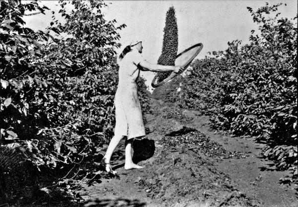 Primeira fase da limpeza do café (peneiração) (PR) - 1955