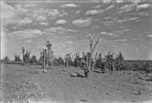 Plantação de café prejudicada pelas geadas, entre Mandaguari e Marialva. (PR) - 1955