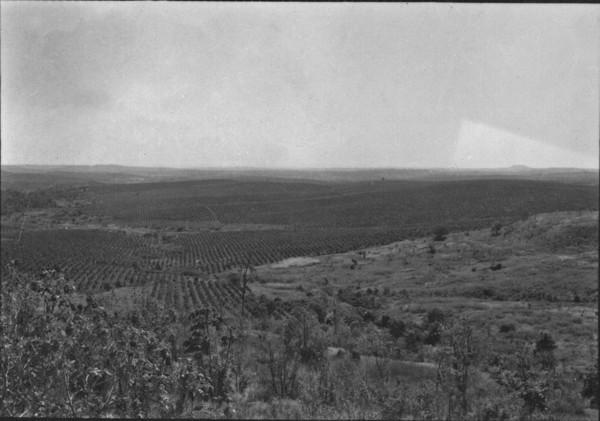 Grande plantação de café perto de Procópio. (PR) - 1955
