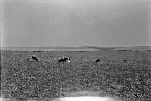 Pastagem, vendo-se o gado holandês : Município de Carambeí (PR) - 1955