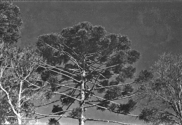 Araucária, vendo-se sua copa (PR) - 1955