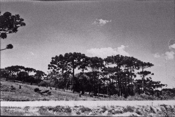 Pinheiros em Araucária (PR) - 1955