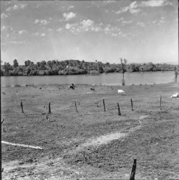 Gado em terreno alagado (PR) - 1957