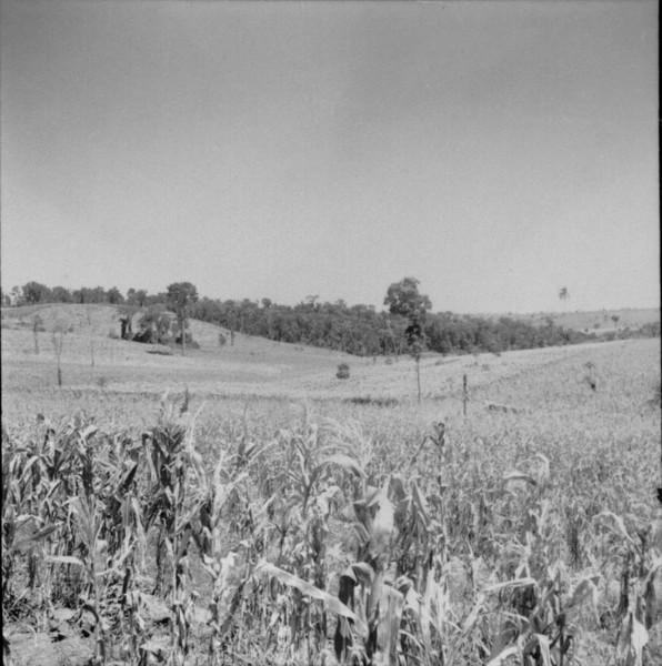 Pequena reserva de mata tropical no centro, áreas cultivadas com milho e cana : Município de Cambará (PR) - 1960