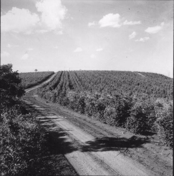 Plantação de café associado ao milho : Município de Abatiá (PR) - 1960