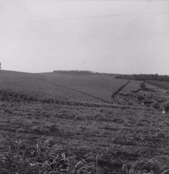 Talhões de cana no município de Bandeirantes (PR) - 1960