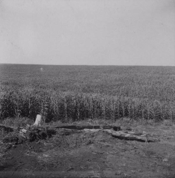 Cultura de milho, no município de Bandeirantes (PR) - 1960