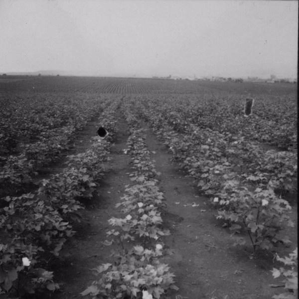 Cultura de algodão herbáceo : Município de Uraí (PR) - 1960