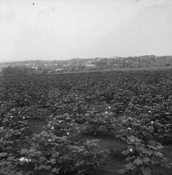 Cultura de algodão herbáceo, ao fundo a cidade de Uraí (PR) - 1960