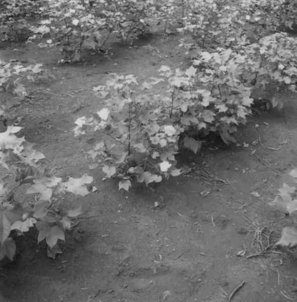 Detalhe de algodoeiro em flor : Município de Uraí (PR) - 1960