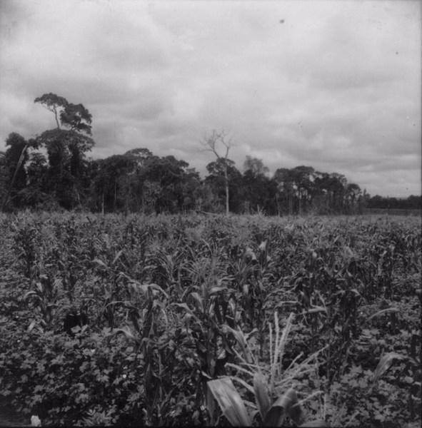 Cultura associada de milho e algodão (PR) - 1960