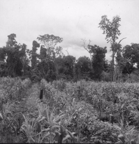 Detalhe das fileiras de algodão e de milho da foto 9722 (1º estágio) : município de Tamboara (PR) - 1960