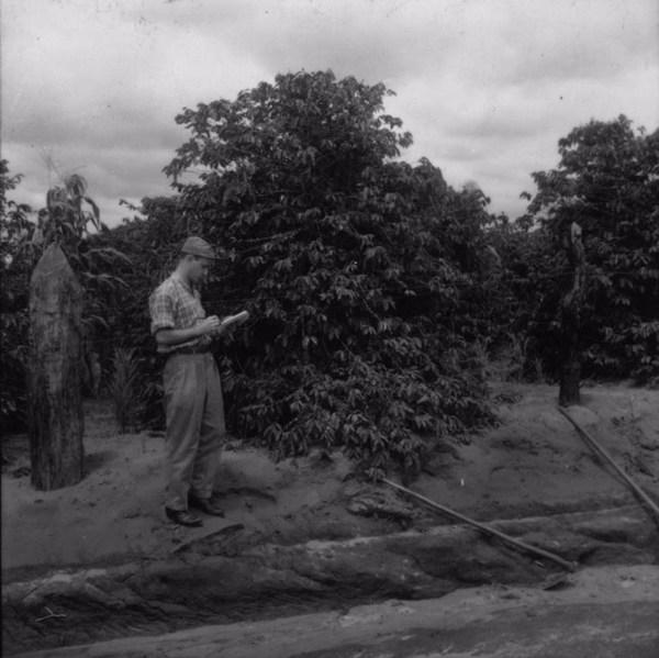Detalhe de um pé de café carregado, ainda verde : município de Tamboara (PR) - 1960