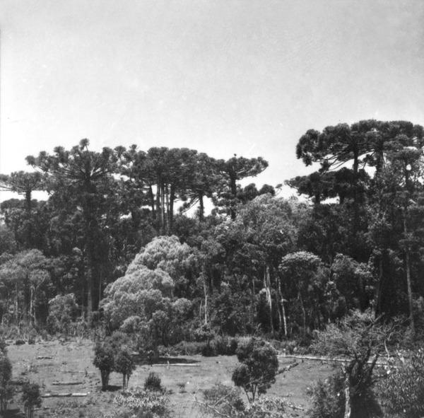 Reserva de Pinheiro na estrada de Chopinzinho (PR) - 1966