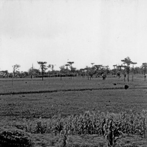 Cultura de milho e mandioca próximo ao município de Toledo (PR) - s.d.