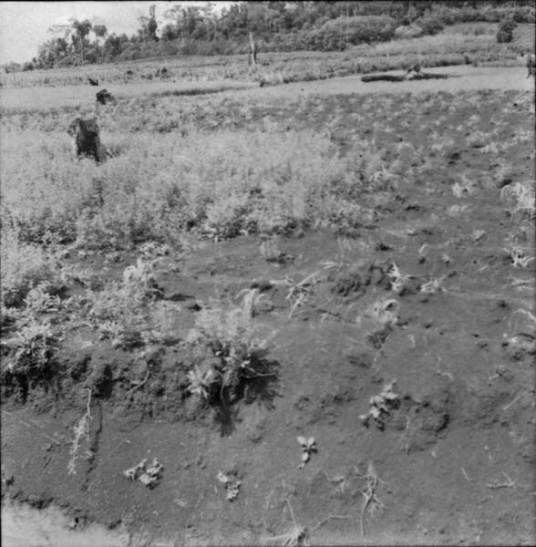 Plantação de feijão e mandioca em Marechal Cândido Rondon (PR) - 1965