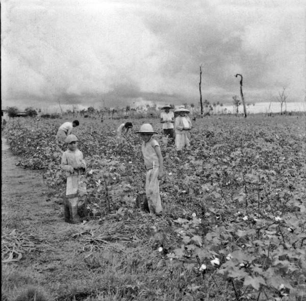 Colheita de algodão, vendo-se agricultores : Município de Loanda (PR) - s.d.