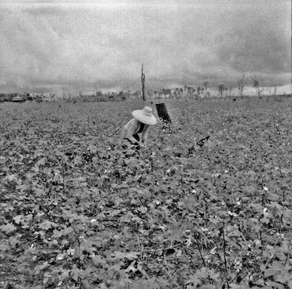 Colheita de algodão : Município de Loanda (PR) - s.d.