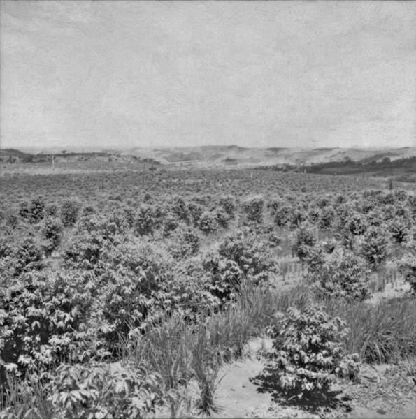 [Cultura de café associado ao arroz, vendo-se ao fundo relevo ondulado, no município de Califórnia (PR)] - 1960