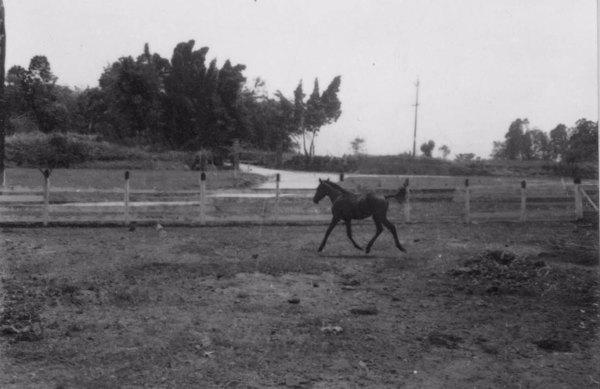 Equinicultura : Potro de raça árabe, puro sangue, da criação do Sr. Santos Cruz (RJ) - s.d.
