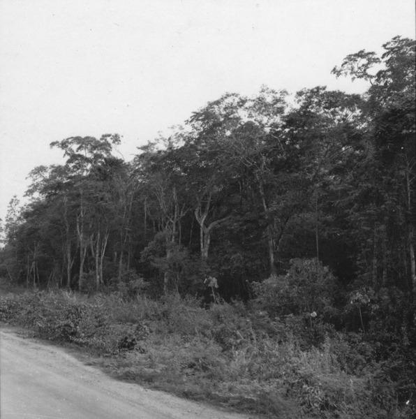 Perfil da mata perenifólia do vale do Mucajaí (RR) - 1978