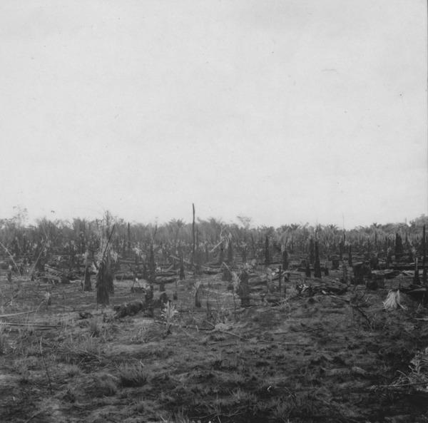 Roça queimada em formação homogênea de inajás a 3km da vila de Mucajaí (RR) - 1978
