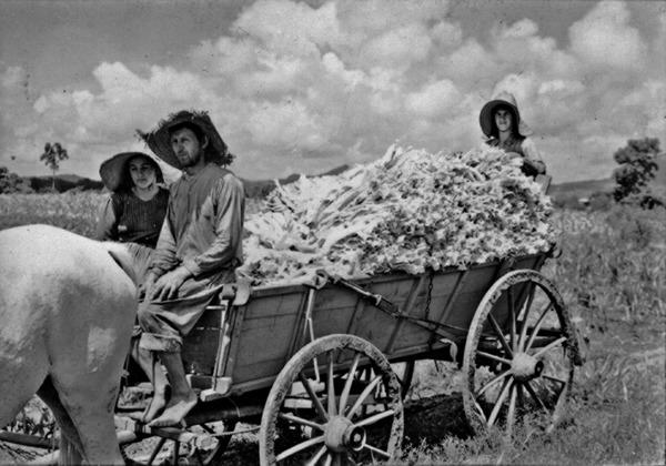 Colono transportando fumo perto de Candelária (RS) - 1954