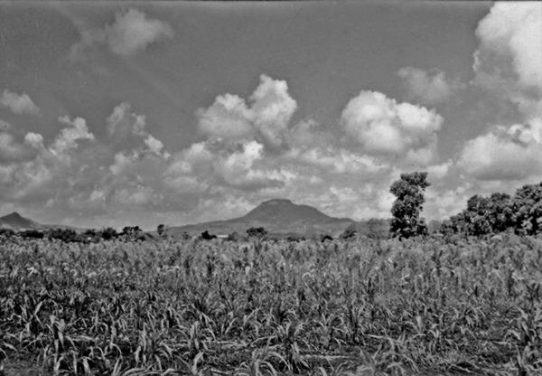 Plantação de fumo perto de Candelária (RS) - 1954