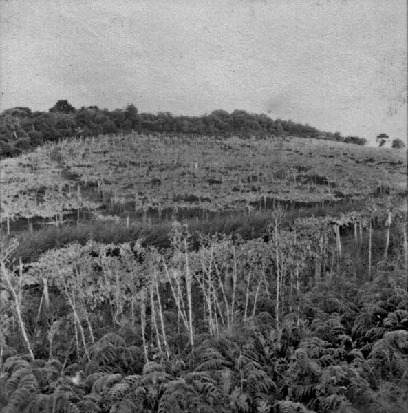 Vinhedo de uva branca pertencentes a Cia. Peterlongo, em Garibaldi (RS) - 1959