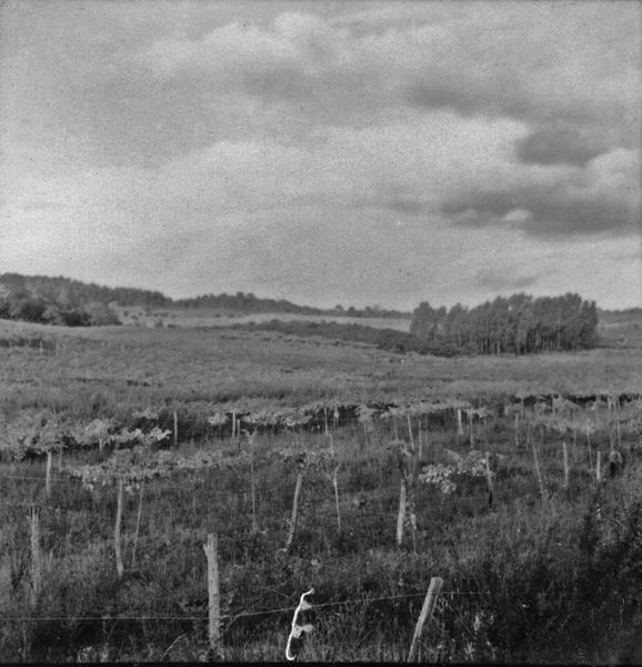 Vinhedos de uva branca, pertencentes a Cia Peterlongo,em Garibalde (RS) - 1959