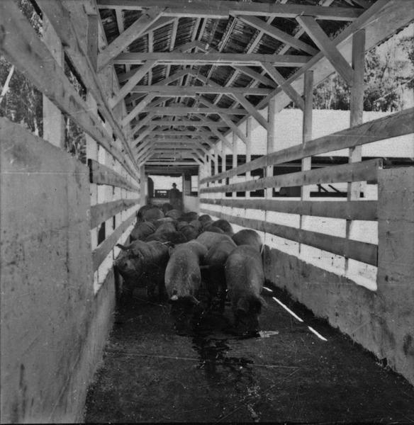 Porcos no frigorifico SAIC em Chapecó (SC) - 1957