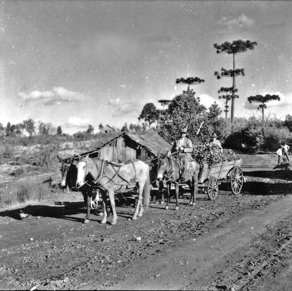 Transporte da erva-mate no município de Joaçaba (SC) - 1957