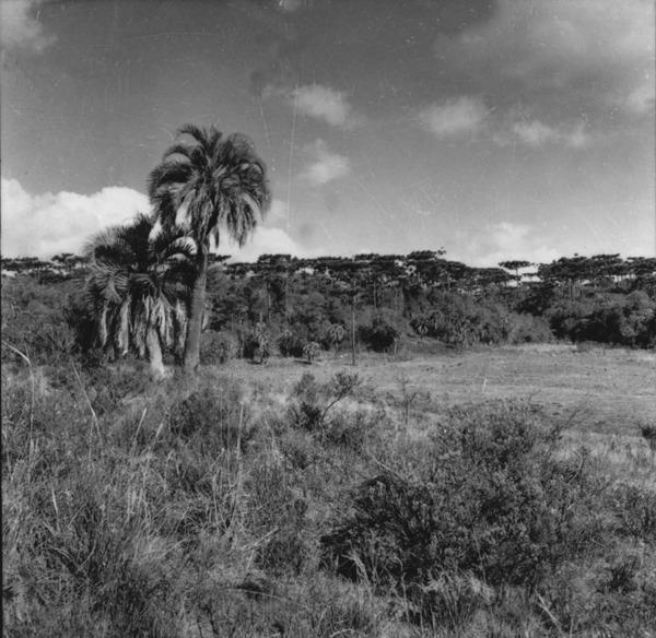 Pinheiro e Palmeira Butiá, perto de Ponte Serrada : município de Joaçaba (SC) - 1957