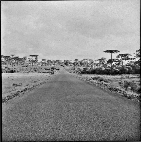 [Floresta de araucárias próximo a Santa Cecília (SC)] - 1959