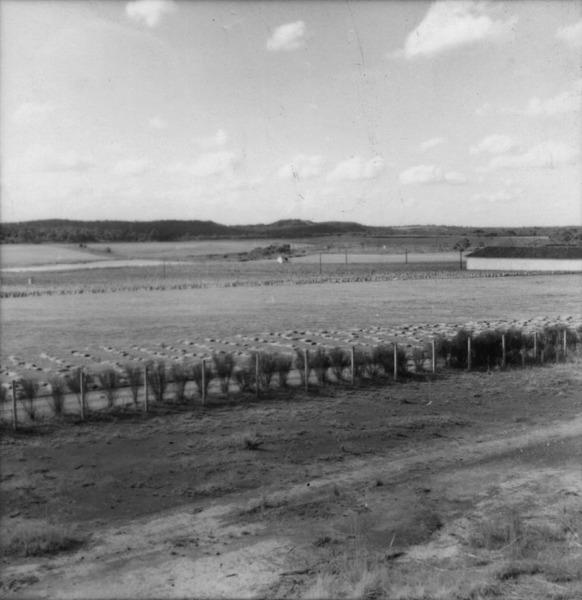 Plantação de linho no município de Itaiópolis (SC) - 1965