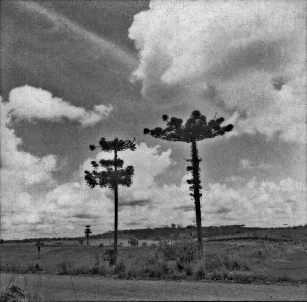 Plantação de pinheiros (SC) - 1965