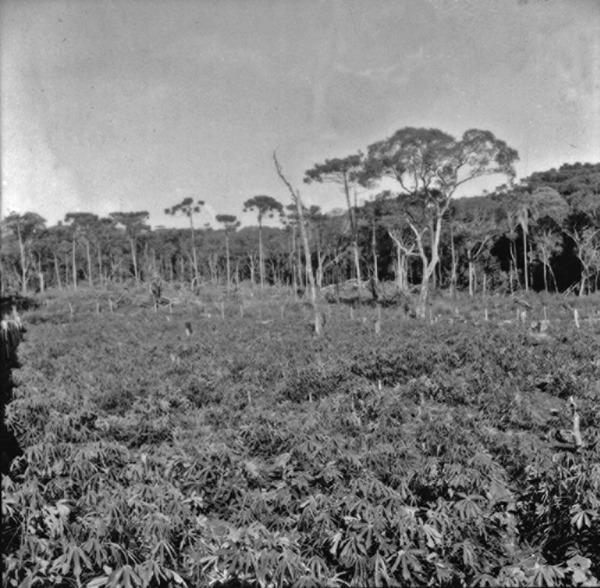 Derrubada com roça em formação, no município de Campo Erê (SC) - 1965