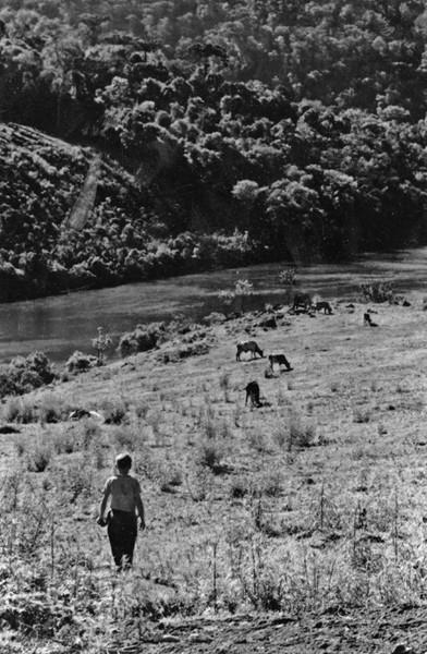Bois pastando, no município de Monte Castelo (SC) - [197-?]