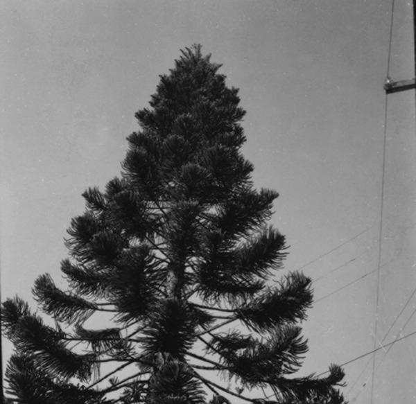 Detalhe de um pinheiro em Joinville (SC) - 1972
