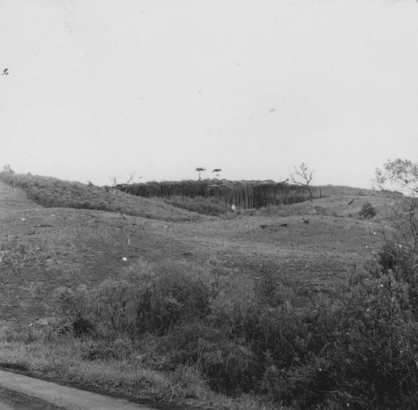 Vegetação secundária : bracatinga no Vale do Rio do Peixe (SC) - 1957