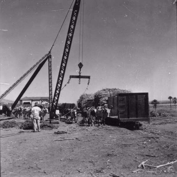 Transporte de cana da Usina Junqueira (SP) - 1957